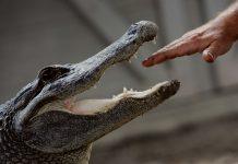 Trading Forex Dengan Indikator Alligator